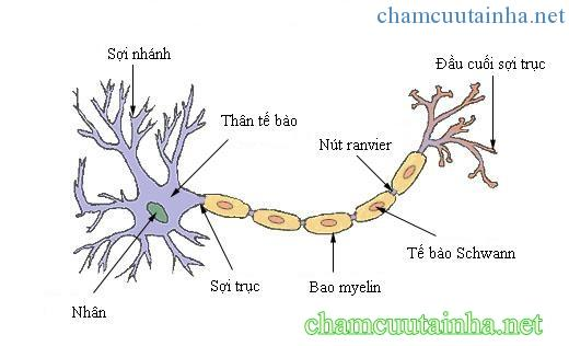 cau-truc-cua-mot-neuron-dien-hinh-tieng-viet